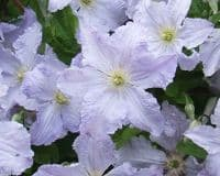 Clematis Blekitny Aniol (BLUE ANGEL)